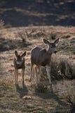 Matriz e jovem corça dos cervos de mula imagem de stock