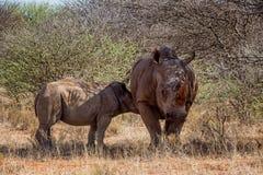 Matriz e vitela brancas do rinoceronte Imagem de Stock