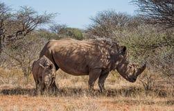 Matriz e vitela brancas do rinoceronte Imagens de Stock