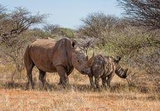 Matriz e vitela brancas do rinoceronte Fotografia de Stock Royalty Free