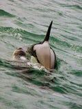 Matriz e vitela da baleia de assassino da orca Imagem de Stock