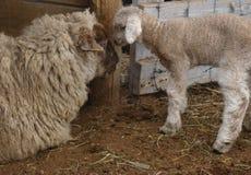 Matriz nuzzling dos carneiros do bebê Imagens de Stock