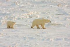 Matriz saudável e filhote do urso polar Imagem de Stock Royalty Free