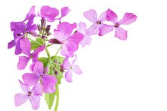 Matronalis de Hesperis (Rocket de dame) Photographie stock