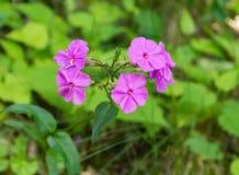 """Matronalis Hesperis do †violeta de Dame's do """" Imagens de Stock"""