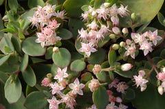 matronasedumtelephium Royaltyfri Bild