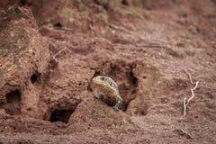 Matrycująca jaszczurka na termit górze Obrazy Stock