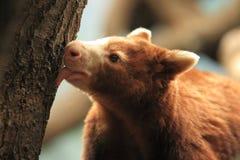 Matschie's tree-kangaroo Stock Images