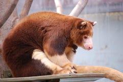 Matschie's Tree Kangaroo Stock Photo