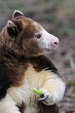 Matschie's Tree kangaroo (Dendrolagus matschiei) Royalty Free Stock Images
