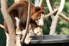 Matschie`s Tree-kangaroo - Dendrolagus matschiei. Native of Papua New Guinea, a captive Matschie`s Tree-kangaroo is enjoying its breakfast at the zoo. Also known royalty free stock images