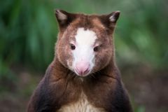 Matschie`s tree-kangaroo Portrait. A captive Matschie`s tree-kangaroo in naturalistic surroundings at a zoo in Toronto, Canada.  Native to Papua New Guinea Royalty Free Stock Photo