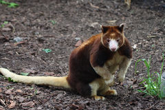 Matschie tree kangaroo Royalty Free Stock Photos