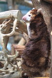 Matschie tree-kangaroo Royalty Free Stock Image