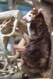 Matschie tree-kangaroo Royalty Free Stock Image