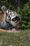 matställe som äter hans tiger Royaltyfria Foton