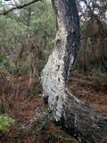 Matsucoccus-feytaudi Schaden auf Pinus pinaster Bäumen Lizenzfreies Stockbild