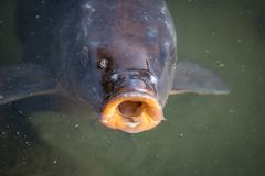 Hungry Carp. Matsumoto Castle moat, hungry carp koi hopes for tourists to feed it Stock Image