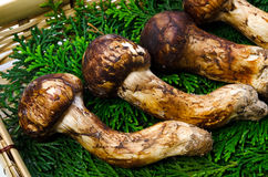 Matsutake mushroom Stock Images
