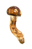Matsutake mushroom Royalty Free Stock Photography