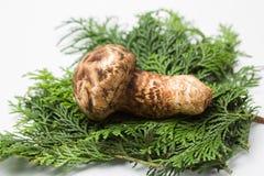 Matsutake mushroom Stock Photo