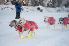 Matt Hall`s dogs. FAIRBANKS, ALASKA - FEBRUARY 3, 2018: Dogs from race veteran Matt Hall`s team race along the Chena River Stock Photos