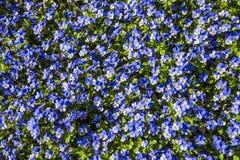 Matta av blåa blommor, Keukenhof, Nederländerna Royaltyfria Foton