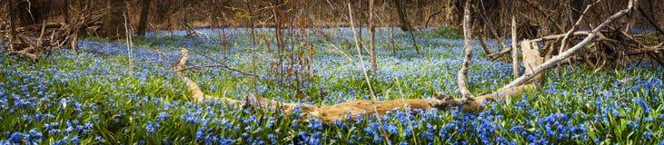 Matta av blått blommar i vårskog Arkivfoto