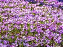 Matta av purpurfärgade krokusblommor Royaltyfri Bild