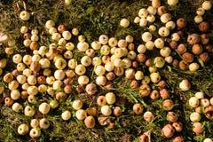 Matta av ruttna äpplen som är stupade och ligger på gräset i höst royaltyfria bilder