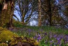 Mattan av blått blommar i skogen på våren Arkivbild