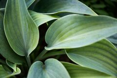 Matte green  hosta leaves, large fresh green  leaves hostas, plantain lilies, giboshi. Green background