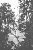 Matte noire et blanche de fleur de jardin Image stock