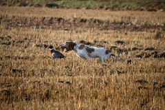 A matter of life. A Bracco Italiano trying to catch a pheasant during a field trial Stock Photo
