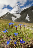 Matterhorn. Gentians in the valley,Switzerland Stock Photography