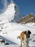 Matterhorn. Saint Bernard in front of the Matterhorn in the Swiss alps Royalty Free Stock Image