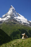 Matterhorn and a Cow Royalty Free Stock Image