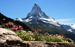 Matterhorn with flowers Royalty Free Stock Photography