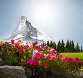Matterhorn with Flowers stock image