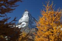 Matterhorn szczyt obramiający żółtymi sosnami Fotografia Stock