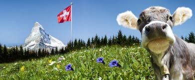 Matterhorn z krową obrazy royalty free