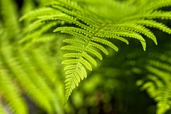 Matteuccia struthiopteris - an ostrich fern closeup with perfect Stock Photos