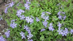 Matthiola λουλουδιών απόθεμα βίντεο
