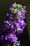 Purple hoary stock matthiola incana royalty free stock photo
