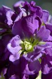 Macro purple hoary stock matthiola incana royalty free stock photo