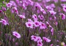 Matthiola maderensis ist blühende Pflanzenart des Vorrates in der Brassicaceaefamilie, gebürtig und endemisch in den Madeira lizenzfreie stockfotografie
