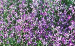 Matthiola tender summer evening flowers. Flowers of tender summer matthiola at happy day for mood stock images