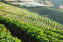 Mattina alla bella azienda agricola della fragola Fotografia Stock
