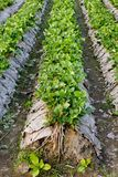 Mattina alla bella azienda agricola della fragola Immagine Stock