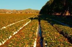 Mattina alla bella azienda agricola della fragola Fotografie Stock